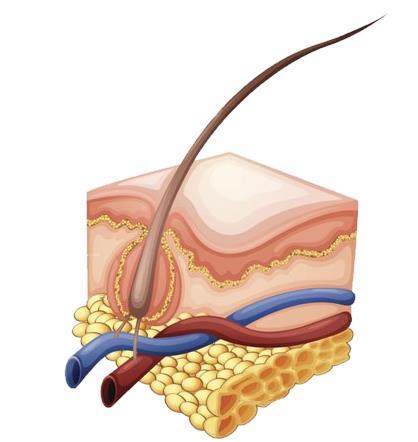 Анатомия Волоса и Кожи