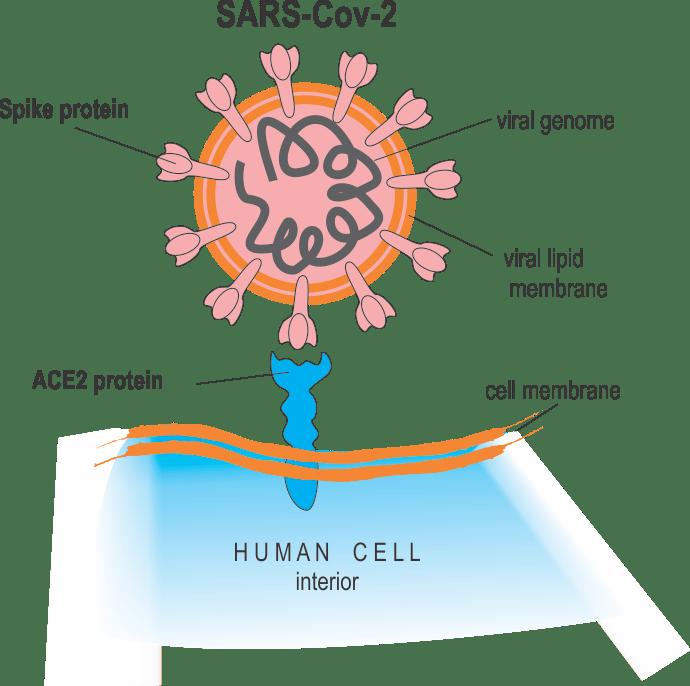 схема коронавируса